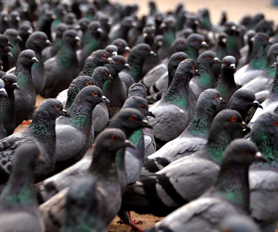 Servicios de Control de palomas y otras aves